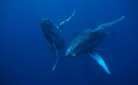 Baleia Jubarte | Foto Instituto Baleia Jubarte/ Enrico Marcovaldi